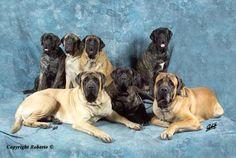 Villa Graf   Elevage Mastiff