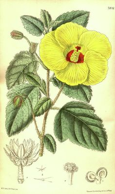 Botanical Print By Walter Hood Fitch 1817 – 1892