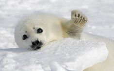 Harp Seal pups are probably the cutest creatures to waddle around the ice of the Arctic, yet are under growing threat from climate change.