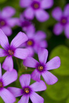 ~~Oxalis flowers by TxPilot~~