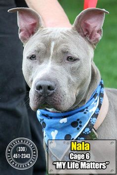 ADOPTED! :) Meet ISO-3 Nala, a Petfinder adoptable Pit Bull Terrier Dog | Canton, OH | Release date 7/10. Nala has been nothing but easy going while at the pound! She seems well...