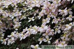 Image result for clematis montana