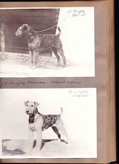 Oats Older photos in the scrapbook. Ch. Bingley Blossom owned by Harold Ober. Harold and Bingley Blossom were busy winning 1913-1915 at Wissahickon Kennel Club, Westminster, The Philadelphia Kennel Club and Eastern Dog Club.