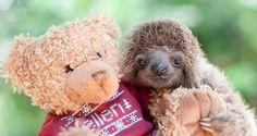 cute-baby-sloth-institute-costa-rica-sam-16-Trull