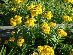 Mexican mint marigold (Tagetes lucida). It grows about three feet tall and wide and is perennial in USDA Zones 8-10 and annual north of that. Its smooth, narrow leaves carry the unmistakeable fragrance and flavor of tarragon, which makes it a valuable addition to your Southern herb and vegetable garden. Showy yellow flowers in late summer and fall are a bonus. How to grow: Give the plant full sun and well-drained soil. It's trouble-free and tolerates drought. Floresflowers.com