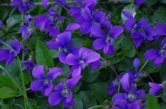 Wild violets...have you ever smelled them?  Heaven!