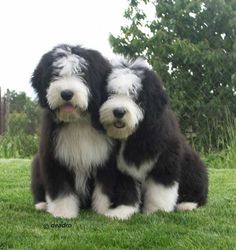 young old english sheepdogs their coloring is different i think i like this darker