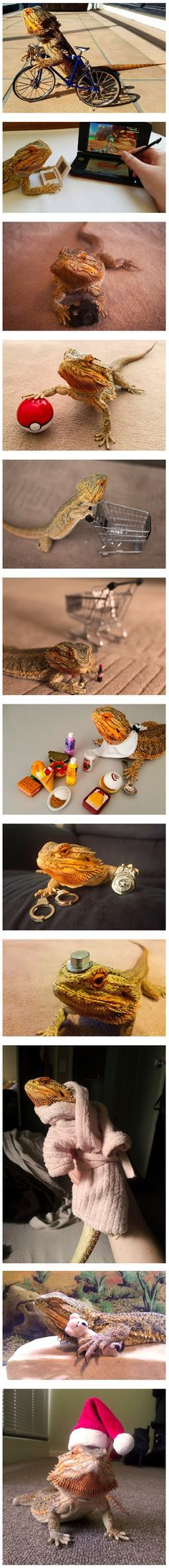 Pringle The Bearded Dragon Does Normal Human Activities In The Cutest Way Possible.
