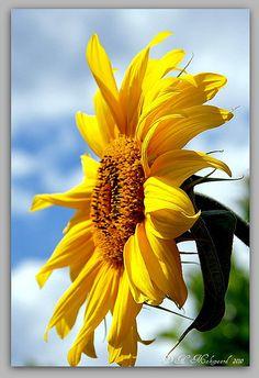 Sunflower | Flickr - Photo Sharing!
