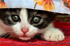 ferocious little cat jigsaw puzzle graphic image