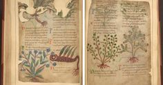 The British Library has digitized the only surviving illustrated Anglo-Saxon herbal remedies manual, making the Medieval manuscript available online.