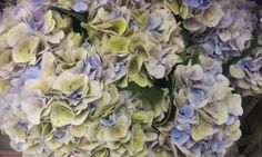 #Hydrangea #Marsepein Blue Classic; Available at www.barendsen.nl