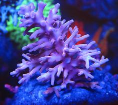 Cornbred's Red Dragon Acro - LIVE CORAL
