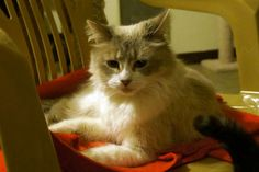 """Almond is a small 2 year old, medium haired fluffy kitty, surrendered for the reason of """"moving"""". She was very shy, and probably had never been socialized with other cats. However, she is beginning to explore her surroundings and although she's..."""