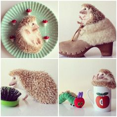 Have you heard about a hedgehog named Darcy?