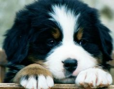 A Bernese Mountain Dog puppy.