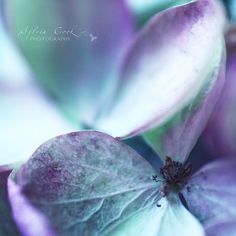 Love macro photography, and love blue hydrangeas.  Wish I could get a shot even half this good!