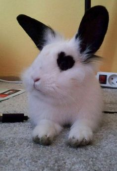 The Cute Rabbit Pets - Page 27 of 28 - Gloria Love Pets Cute Baby Bunnies, Funny Bunnies, Cute Baby Animals, Animals And Pets, Funny Animals, Cutest Bunnies, Animal Original, Pet Rabbit, Hamsters