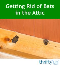Although bats are very beneficial in helping to keep the insect population in control, having them move into your attic is not a good thing. This is a guide about getting rid of bats in the attic. Bats In Attic, Getting Rid Of Bats, Pest Control, Home Remedies, Bats In The House, Front Porches, Bugs, Restoration, Farmhouse