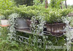 Kukkapöydät ja ruukut ovat kiva lisä puutarhassa muuallakin kuin terassilla. Ruukut ovat helppo tapa luoda uutta ilmettä joka kesä. www.kotipuutarha.fi