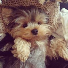 What a sweet face! Photo by threadsence • Instagram Teddy bear faced yorkie