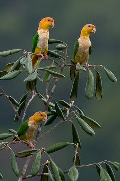 libutron: Marianinhas | ©Joao Quental (Alta Floresta, Mato Grosso, Brazil) Pionites leucogaster (Psittacidae), known as White-bellied caique parrots