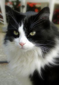 Superbe chat noir et blanc