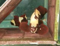 Maroon Clownfish for Sale Online Live Aquarium Fish, Salt Water Fish, Fish Stock, Two Fish, Fish Man, Marine Fish, Counted Cross Stitch Patterns, Tropical Fish, Program Design