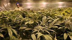 Drew Wilmeth, a grower at Medicine Man, works amid the plants.