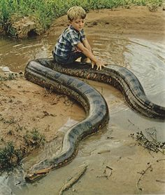 This picture shows a child with a very large and dangerous snake    [][][] National Geographic 1972