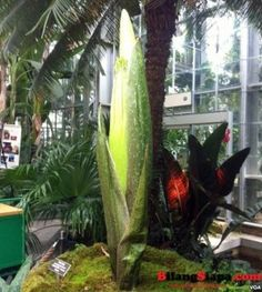 Bunga Bangkai Raksasa dari Sumatra Mulai Mekar di Amerika