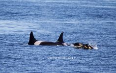 Baby Orcas - Photo by Janine Harles