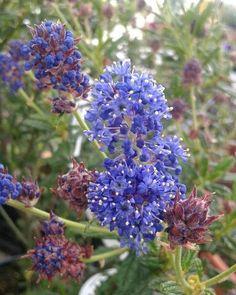 Ceanothus de flor azul