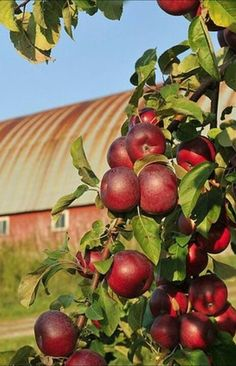 As a child I loved to visit my aunts farm in Texas. She let me roam and pick all the apples, pears, okra, and tomatoes I could find. I used to stand with my eyes closed and listen to the wind rush through the crops. I loved it.