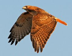 Stunning photo of a Red-Tailed Hawk in Texas!  I have personally witnessed a field with hundreds of Re-tailed Hawks at one time.