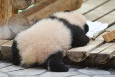 Animals And Pets, Baby Animals, Funny Animals, Cute Animals, Wild Animals, Baby Panda Bears, Baby Pandas, Cute Baby Bunnies, Cute Babies