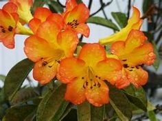 Golden Rhododendrons