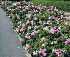 Роза морщинистая, Живая изгородь, Живая изгородь из розы морщинистой, Свободнорастущая живая изгородь