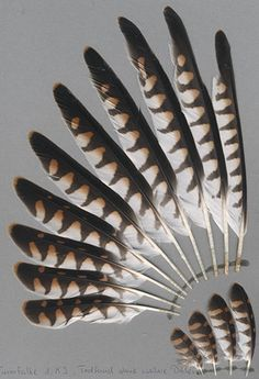 Common Kestrel - Falco tinnunculus (Turmfalke)