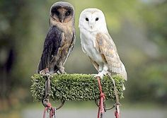 melanistic barn owl next to a normal barn owl