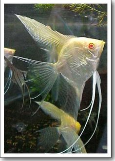 Angelfish@ Gold Pimk-Eyed Variety