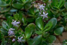 """Určitě jste se již alespoň jednou v životě sešli s touto rostlinou, které se někdy říká """"strom peněz"""". Nazvali ji tak lidé, protože její listy připomínají tloušťku kulatých minci. Obsahují velké množství šťávy. O jejich vlastnostech ví jen málokdo. Řeknu vám, jak si z pokojové rostliny uděláte skute Diy Wreath, Wreaths, Feng Shui, Aloe Vera, Gardening, Health, Plants, Forks, Crown Flower"""