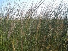Tule grass grows in wet areas of the bay and was used as a building material for homes, boats, mats and many other things.