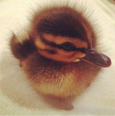If you didn't already know, baby ducks are pretty much precious little nuggets of joy. They have been clinically proven to cure depression and disease and all other problems because they are perfect.