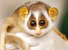 A five-month-old female slender loris at the London Zoo. Slender Loris is the common name for the strepsirrhine nocturnal primates from India, Sri Lanka and southeast Asia