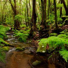 Bosque del Cedro, Parque Nacional de #Garajonay . #LaGomera  - #IslasCanarias