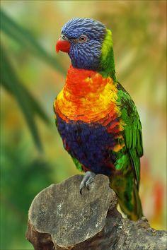 ~~Rainbow Lorikeet by Foto Martien~~