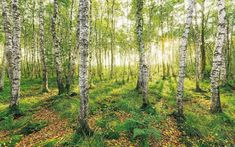"""Komar – digital printed photomurals on non-woven in high quality made in Germany, e.: Non-woven photomural """"Birch Trees"""" by Stefan Hefele. Photo Wallpaper, Nature Wallpaper, Cool Wallpaper, Wallpaper Murals, Wallpaper Ideas, Birch Tree Art, Birch Forest, Germany Landscape, Forest Nursery"""