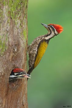 Adult male and baby male Common Flameback Woodpecker