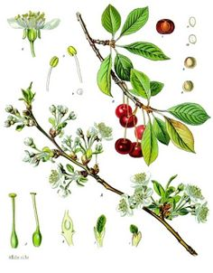 Temperate Climate Permaculture: Permaculture Plants: Cherry, Tart or Sour